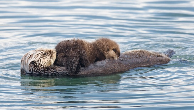 (Best of 3) Sea Otter (Enhydra lutris) mother with nursing pup i