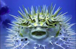 The_Puffer_Fish