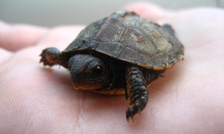 Baby_turtle_on_hand