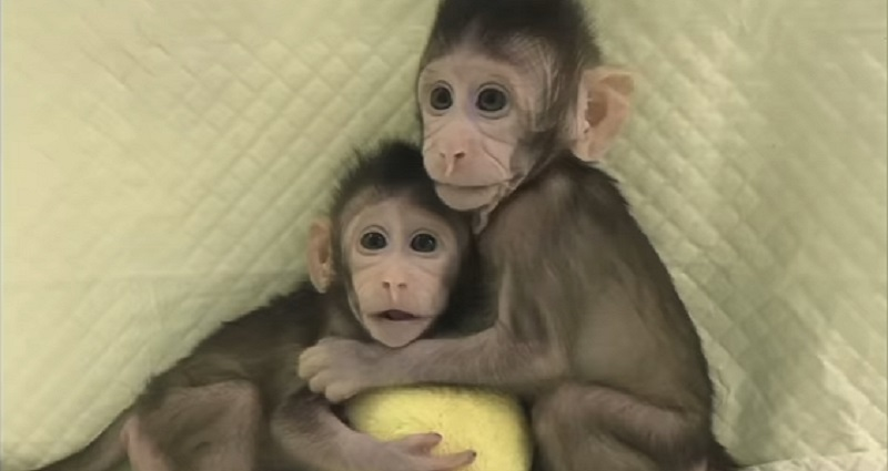 chinese researchers cloned two adorable monkeys