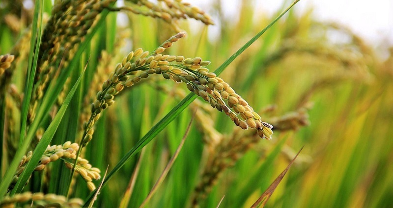 genetically modified pest-resistant rice from china