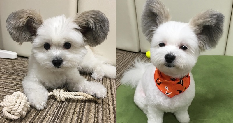 Japanese Dog Actually Has Real Mickey Mouse Ears
