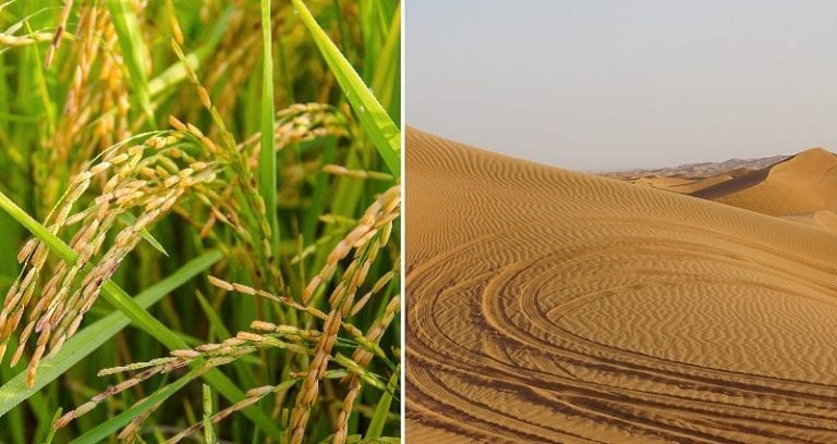 Chinese Scientists Successfully Grow Rice In The Desert