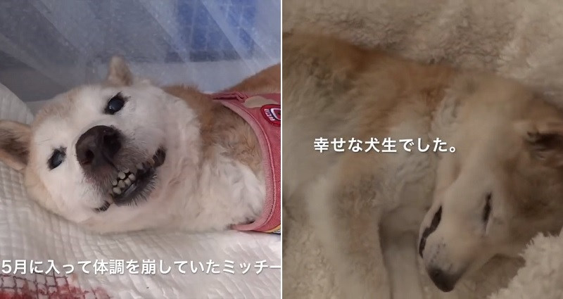 Elderly Shiba Inu Leaves Owner With Parting Gift Before Passing Away in Heartbreaking Video
