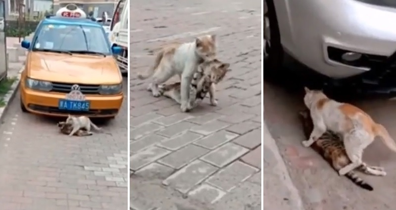 Heartbreaking Video Shows Cat Carrying His Lifeless Friend Back to Safety