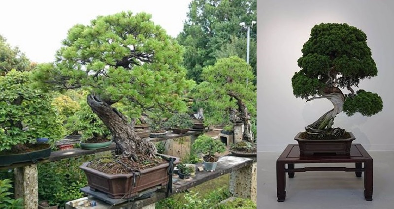 Thieves Steal 400 Year Old Bonsai Trees Worth 118 000 In Japan
