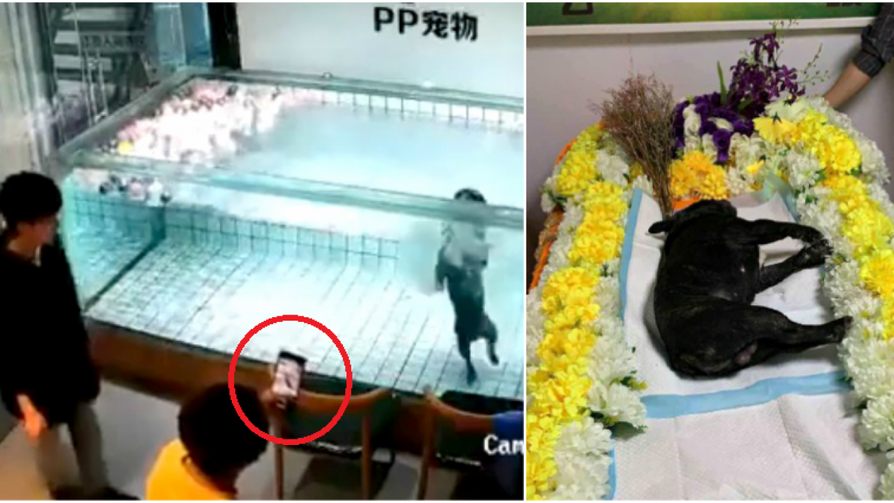 Woman Films With Her Phone as Her Pet Dog Drowns to Death in a Pool