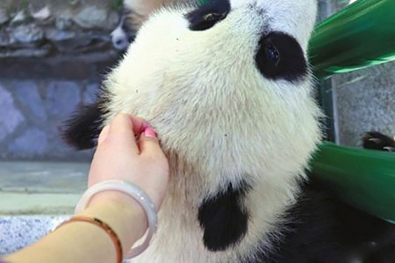 A Chinese woman who generated backlash online for petting a giant panda cub at a wildlife reserve in Chinahas made a public apology on social media.