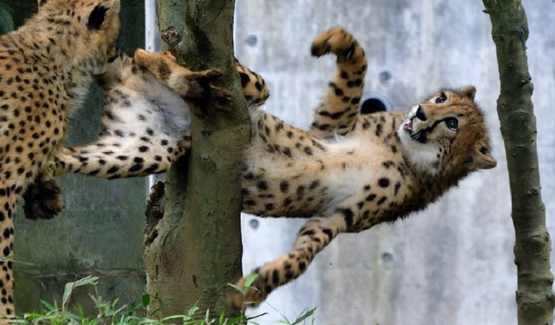 Japanese netizens have found a new internet darling in the form of an adorable cheetah which unfortunately got itself stuck in a tree.