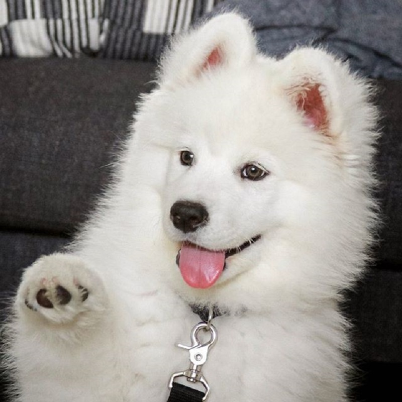 Meet Coconut Rice Bear, a four-year-old Samoyed who lives with her human Chuck Lai in San Francisco, California.