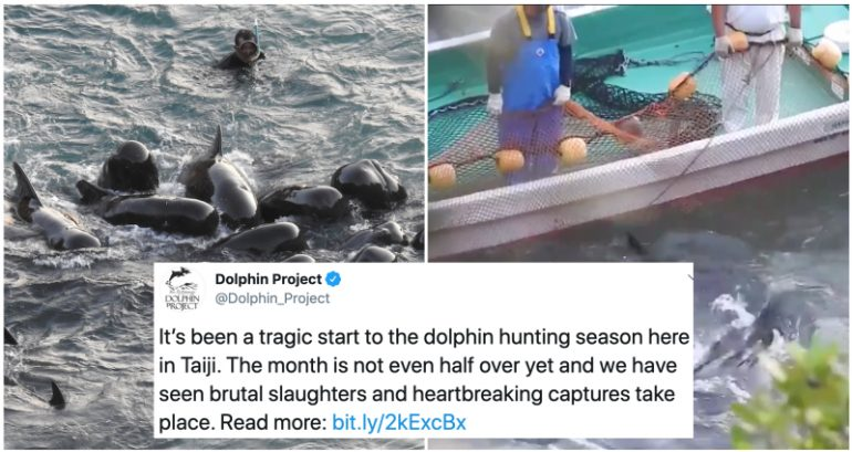 Dolphin Family Swim Together Before Hunters Close In To Slaughter Them