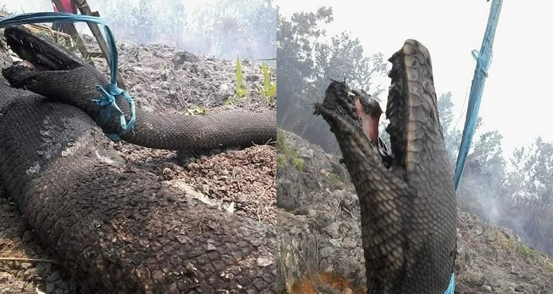 Giant 30-Foot Wild Snakes Die Trying to Escape Indonesia's Forest Fires