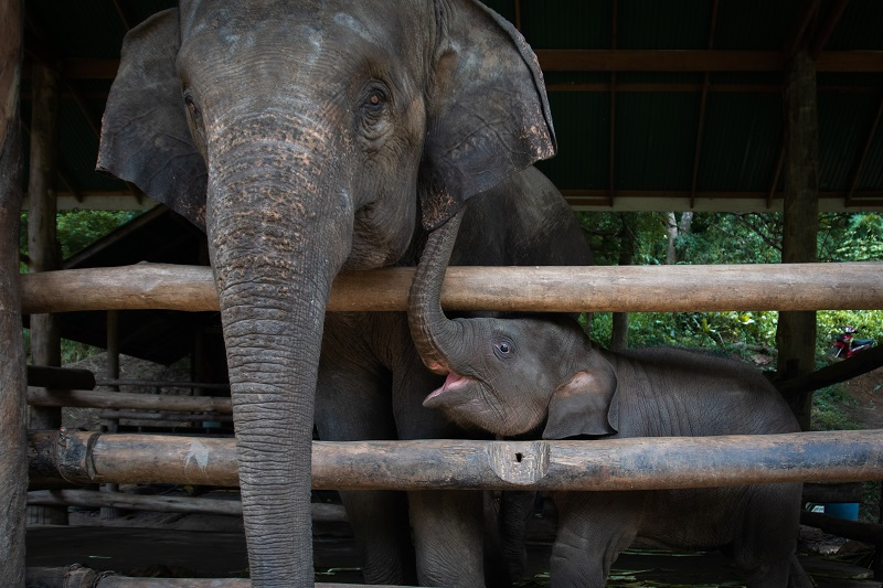 An elephant nursery is under fire for its practice of breeding baby elephants into captivity and forcing them to become money-making performers for the amusement of tourists.