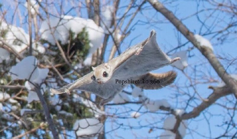 At first glance, it is easy to mistake the Ezo Momonga (Pteromys Volans) as a real-life Pokémon.